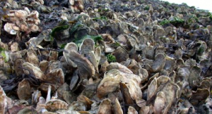Oysters from the Chesapeake Bay (Photo courtesy VIMS)