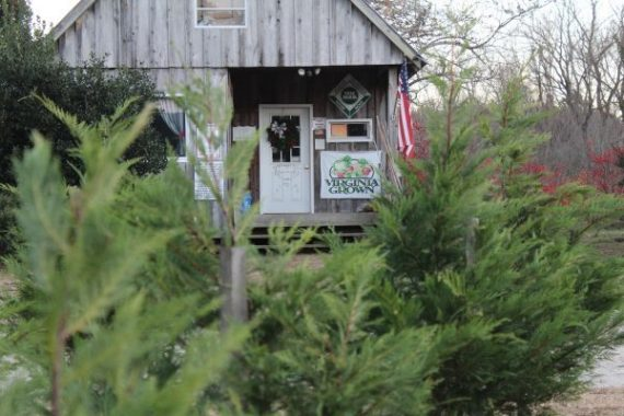 From drought to infestation, an inside look at the lives of Christmas tree farmers
