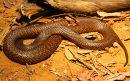 Western_Brown_snake