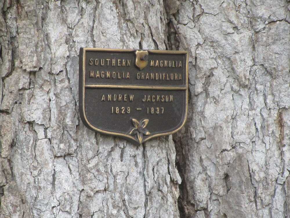Andrew Jacksons Magnolia Trees Can Still Be Seen In Fords Colony