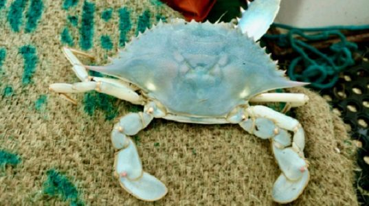 Rare blue crab: The crab caught by local crabbers Jim McInteer and Alan Payne is completely blue. (WYDaily/Courtesy of Jim McInteer)