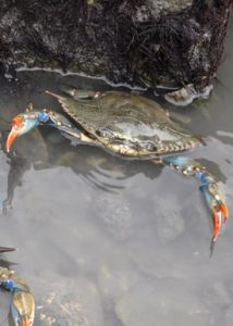 The blue crab Callinectes sapidus typically has a brown carapace with blue legs. (WYDaily/Courtesy of K. Rebenstorf)
