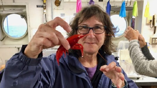 VIMS professor Deb Steinberg displays a deep-sea shrimp caught in a net tow during the EXPORTS expedition to the northeast Pacific Ocean. Because seawater readily absorbs red wavelengths, red animals in the deep sea appear black and are thus camouflaged from predators. (WYDaily/VIMS)