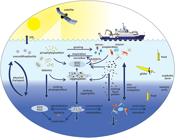 The EXPORTS conceptual diagram illustrates the links among the ocean's biological pump and pelagic food web and our ability to sample these components from ships, satellites, and autonomous vehicles. Light blue waters are the euphotic zone (EZ), while the darker blue waters represent the twilight zone (TZ). (WYDaily/VIMS/NASA)