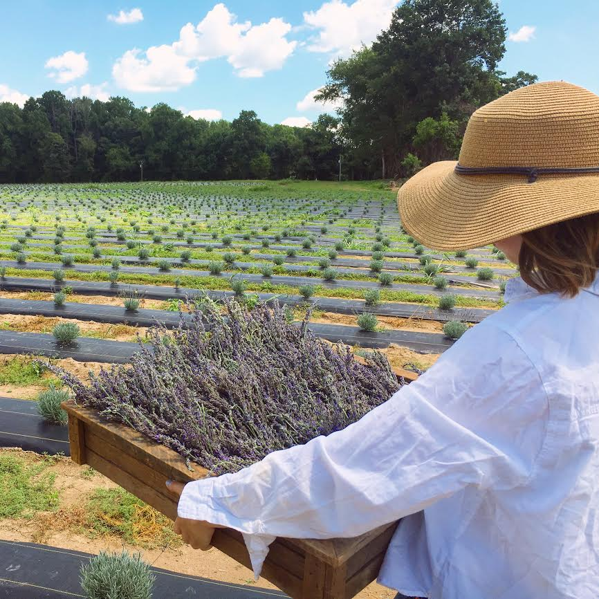 Here's where you can pick your own lavender in Williamsburg