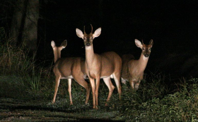 As mating season picks up, motorists should keep an eye out for deer crossing the roadways. (WYDaily/Flickr)