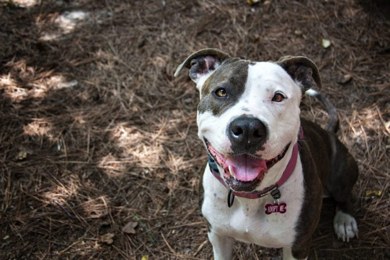 Pit Bulls In Local Shelters