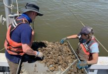 Dr. Ryan Carnegie (L) and postdoctoral research associate Lúcia Safi collect oysters from the waters of the Chesapeake Bay as part of their long-term study of Dermo disease. (P. Richardson/VIMS/WYDAILY)